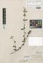 Melochia fasciculata Benth., BRITISH GUIANA [Guyana], Schomburgk 738, Syntype, F
