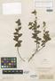 Melochia vestita Benth., BRITISH GUIANA [Guyana], Schomburgk 133, Syntype, F