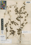 Waltheria acapulcensis Rose, MEXICO, E. Palmer 218, Isotype, F