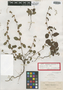 Waltheria bahamensis Britton, BAHAMAS, A. H. Curtiss 117, Isotype, F
