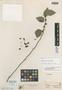 Waltheria involucrata Benth., BRITISH GUIANA [Guyana], Schomburgk 722, Isotype, F