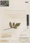 Freziera integrifolia Benth., MEXICO, K. T. Hartweg 18, Isotype, F