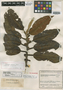 Killipiodendron colombianum Kobuski, COLOMBIA, J. Cuatrecasas 8582, Isotype, F