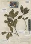 Cleyera serrulata Choisy, MEXICO, M. Sessé 2331, Isotype, F