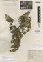 Eurya hintonii Bullock, MEXICO, G. B. Hinton 8653, Isotype, F