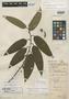 Eurya lancifolia Standl., BRITISH HONDURAS [Belize], W. A. Schipp 455, Holotype, F