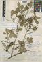 Eurya panamensis Standl., PANAMA, O. E. White 16, Holotype, F
