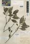 Eurya seemanniana Pittier, PANAMA, H. F. Pittier 2944, Isotype, F
