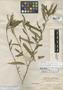 Turnera triglandulosa Millsp., BAHAMAS, C. F. Millspaugh 1152, Holotype, F
