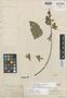 Petrea macrostachya Benth., BRITISH GUIANA [Guyana], R. H. Schomburgk 153, Isolectotype, F