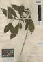 Pittosporum clementis Merr., PHILIPPINES, M. S. Clemens 768, Isosyntype, F