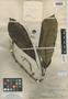 Pittosporum epiphyticum Merr., PHILIPPINES, M. S. Clemens 1040, Isosyntype, F