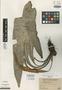Elaphoglossum blepharoglottis Mickel, Peru, G. S. Bryan 534, Holotype, F