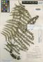 Dryopteris lomatosora Copel., Peru, Y. Mexia 8187, Isotype, F