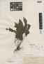Haplodictyum bulusanicum Holttum, Philippines, A. D. E. Elmer 16585, Isotype, F