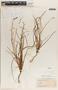 Asphodelus refractus Boiss., Morocco, F