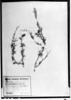 Prosopis torquata image