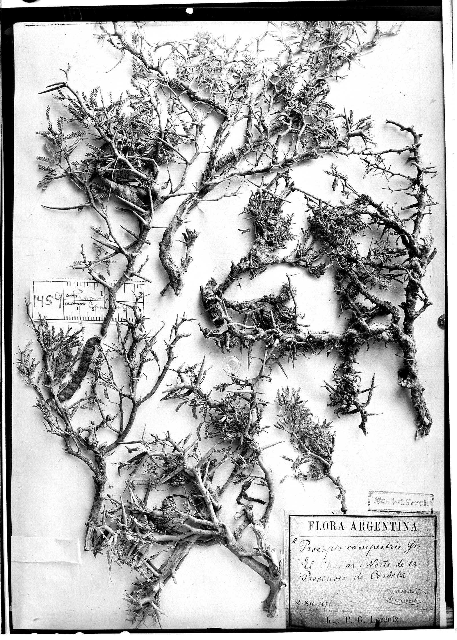 Prosopis campestris image