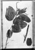 Bauhinia rufa image