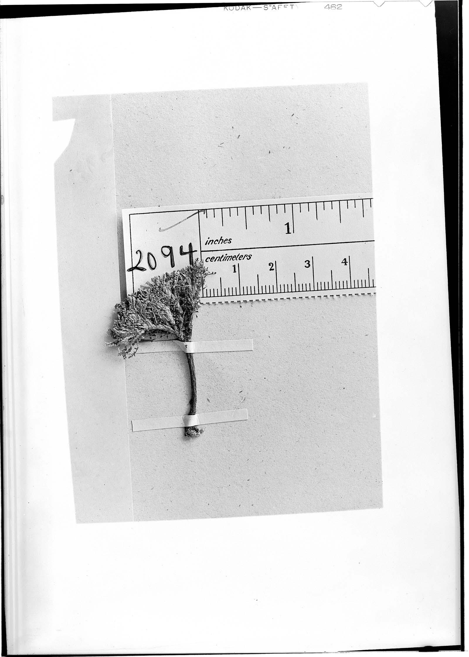 Astragalus compactus image