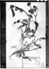 Astragalus procumbens image