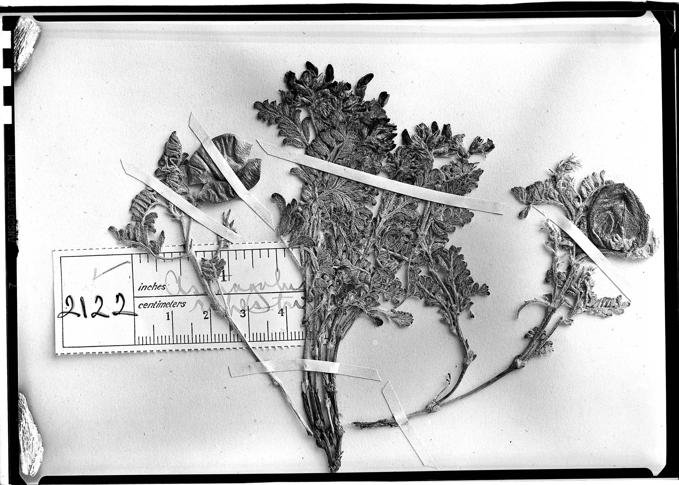 Astragalus rupestris image