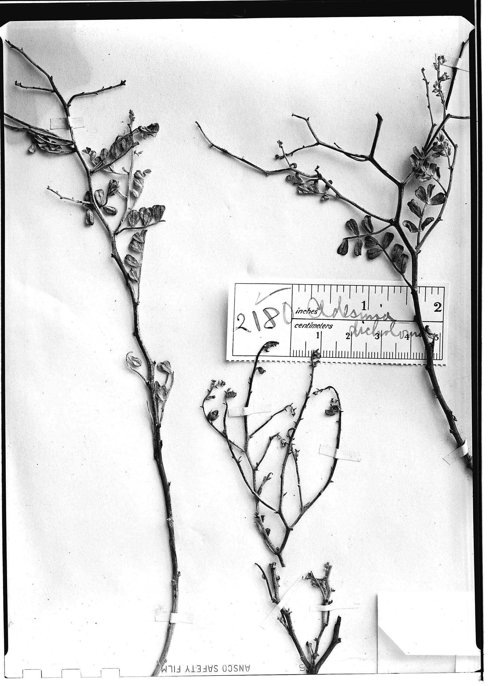 Adesmia dichotoma image