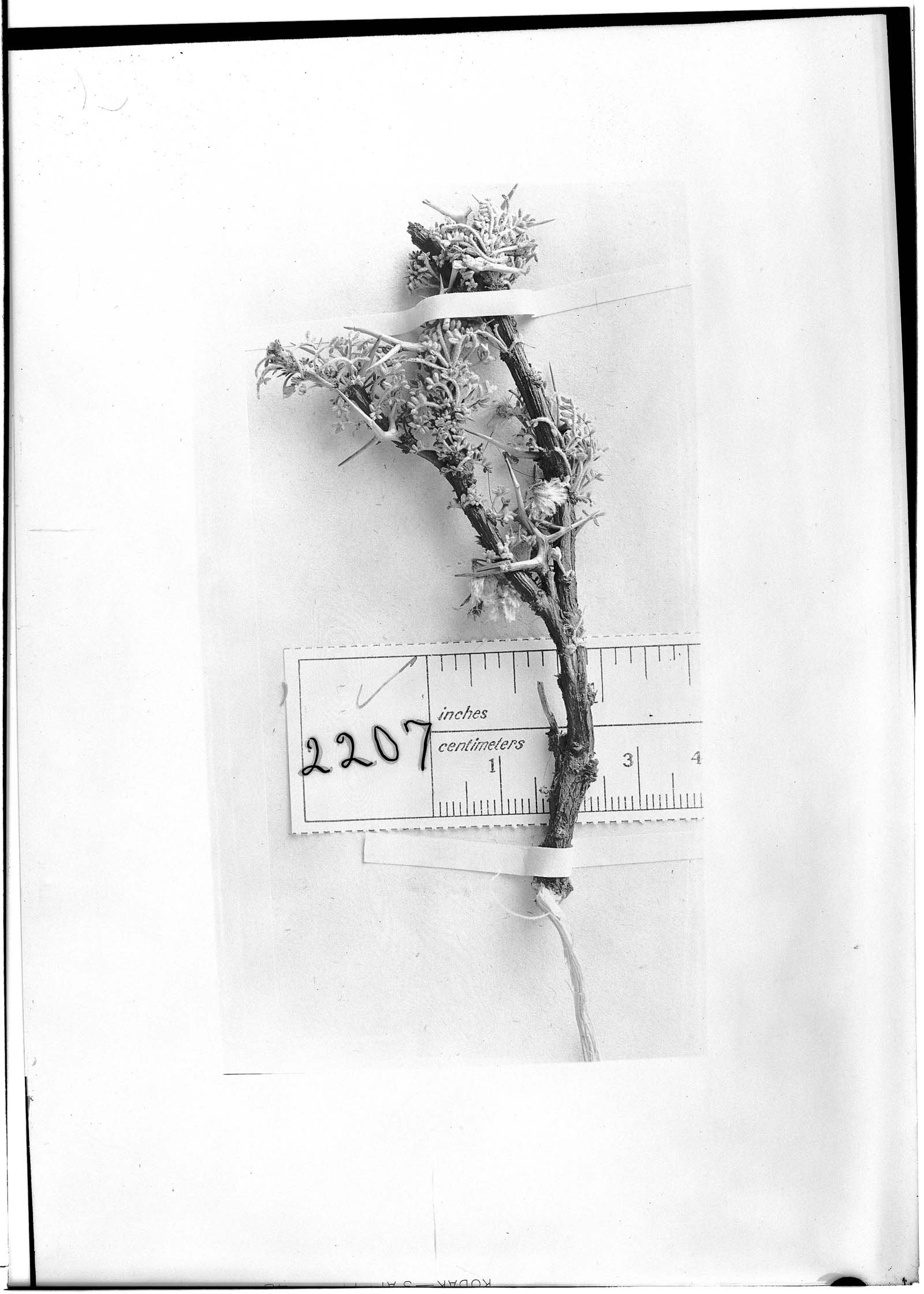 Adesmia leucopogon image