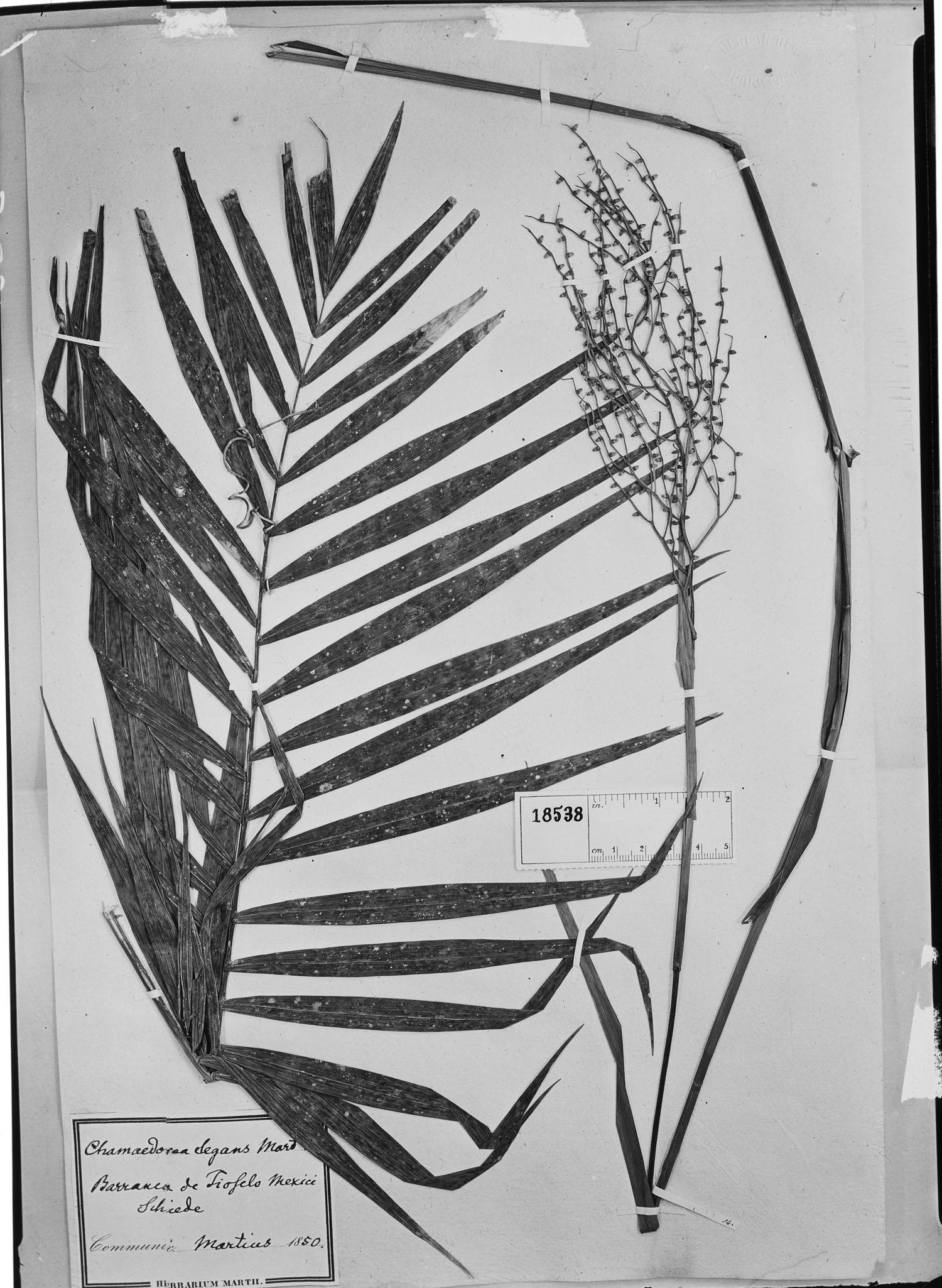 Chamaedorea elegans image