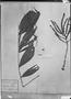 Field Museum photo negatives collection; München specimen of Chamaedorea oblongata Mart., MEXICO, C. J. W. Schiede, Type [status unknown], M