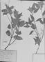 Field Museum photo negatives collection; München specimen of Spennera acuminifolia DC., C. F. P. Martius, Holotype, M