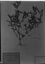 Field Museum photo negatives collection; München specimen of Bacopa aquatica Aubl., C. F. P. Martius, Type [status unknown], M