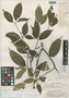 Stemmadenia cerea Woodson, British guiana, A. C. Smith 3606, Isotype, F