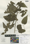 Sida florulenta Fryxell, Peru, J. Schunke Vigo 15875, Holotype, F