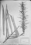 Field Museum photo negatives collection; München specimen of Astrocaryum murumuru Mart., C. F. P. Martius, Type [status unknown], M