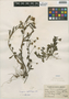 Flora of the Lomas Formations: Erigeron leptorhizon DC., Peru, J. F. Macbride 5945, F