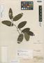 Aspidosperma sessiliflorum Müll. Arg., Trinidad and Tobago, F. W. Sieber 53, Isosyntype, F