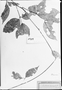 Field Museum photo negatives collection; München specimen of Paullinia anomophylla Radlk., C. F. P. Martius, Type [status unknown], M