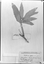 Field Museum photo negatives collection; München specimen of Paullinia aspera Radlk., F. C. Hoehne 3963, Type [status unknown], M