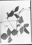 Field Museum photo negatives collection; München specimen of Paullinia dasyphylla Radlk., F. C. Hoehne 3978, Type [status unknown], M