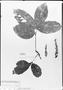 Field Museum photo negatives collection; München specimen of Paullinia scabra Benth., R. Spruce 1414, Type [status unknown], M