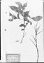 Field Museum photo negatives collection; München specimen of Paullinia stenosepala Sagot, FRENCH GUIANA, M. Mélinon, Type [status unknown], M