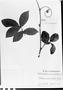 Field Museum photo negatives collection; München specimen of Paullinia subauriculata Radlk., PERU, C. von Jelski 413, Type [status unknown], M