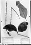 Field Museum photo negatives collection; München specimen of Paullinia xestophylla Radlk., Kuhlmann 2122, M