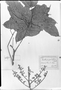 Field Museum photo negatives collection; München specimen of Paullinia grandifolia Benth. ex Radlk., BRAZIL, R. Spruce 1537, Type [status unknown], M