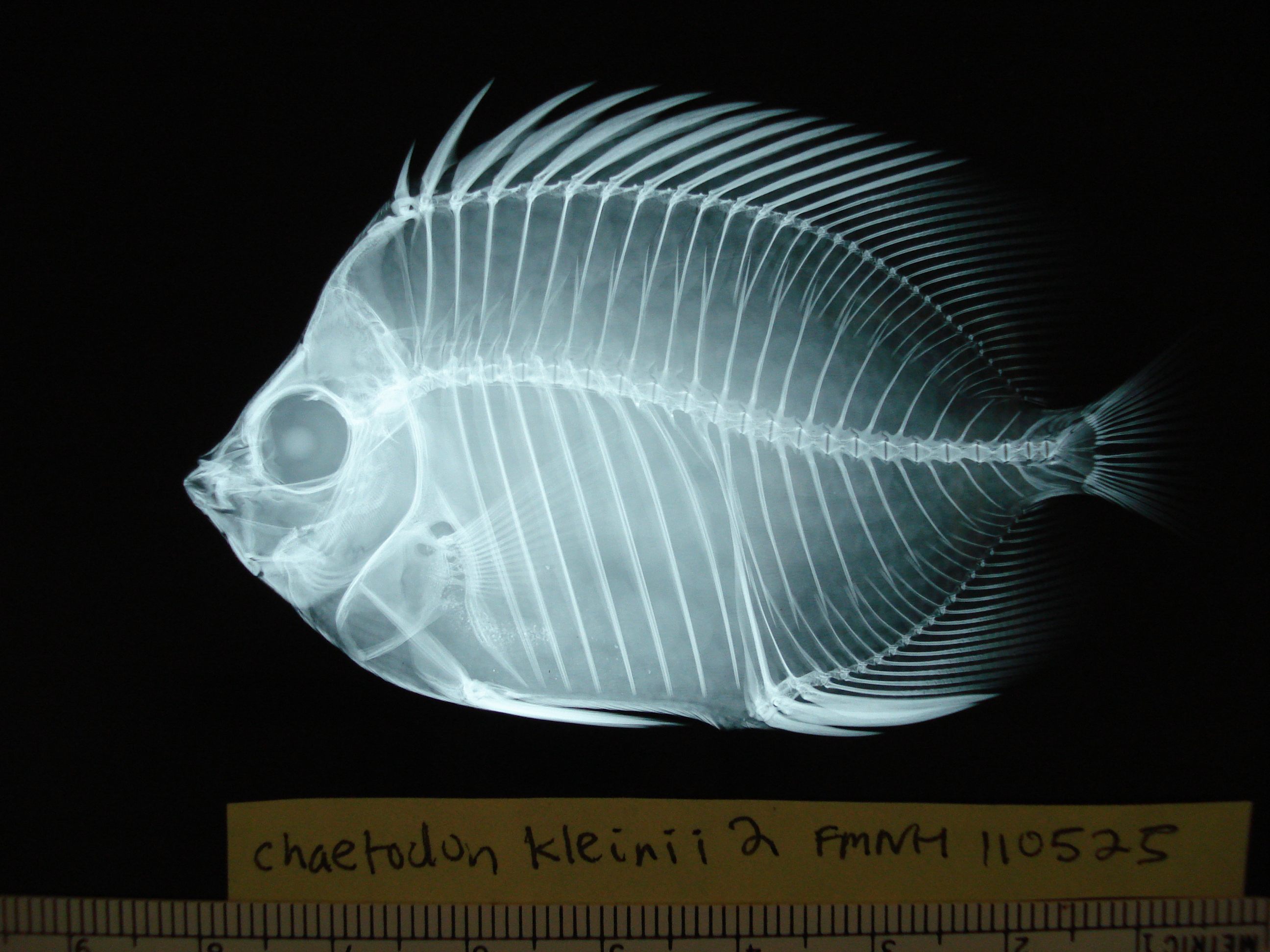 x-ray [Copyright] Field Museum of Natural History - CC BY-NC