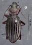 Carabus splendens auronitens race cupreonitens ab fastuosa HT dorsal habitus czm6