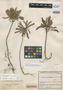 Biophytum huilense Killip & Cuatrec., COLOMBIA, E. Pérez Arbeláez 8356, Isotype, F