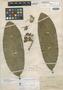 Aspidosperma nobile Müll. Arg., Brazil, A. F. C. P. de Saint-Hilaire 760, Isosyntype, F