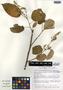 Croton billbergianus subsp. pyramidalis (Donn. Sm.) G. L. Webster, Mexico, M. Nee 26703, F